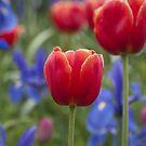 Tulip 1 by Werner Padarin