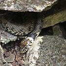 Grass snake hidden away by avocet