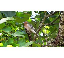 Bird - Finch laying on branches hidden by leaves Photographic Print