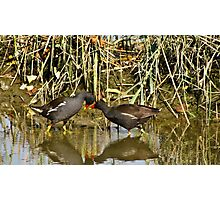 The sweetness and love of a pair of moorhens 2 Photographic Print