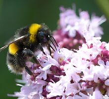 White Tailed Worker Bumble Bee by wraysburyade