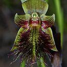 Calochilus paludosa. (2) by Russell Mawson