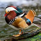 Very Colourful Mandarin Duck by Chris  Randall