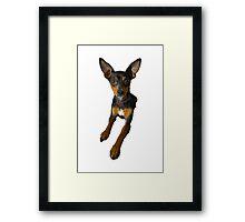 Conchita - a small doberman pincher like species of dog Framed Print