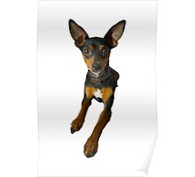 Conchita - a small doberman pincher like species of dog Poster