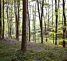 Bluebell Woods by Ed Stone