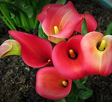 Reddish-Pink Calla Lilies Vignette by kathrynsgallery