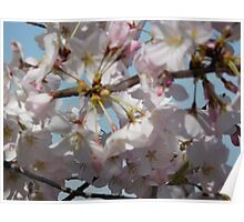 Cherry Blossoms in Washington DC Poster