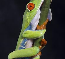 Red eyed tree frog by AngiNelson