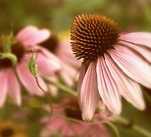 Cone Flowers  by Jessica Jenney