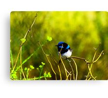 Blue Fairy Wren Canvas Print