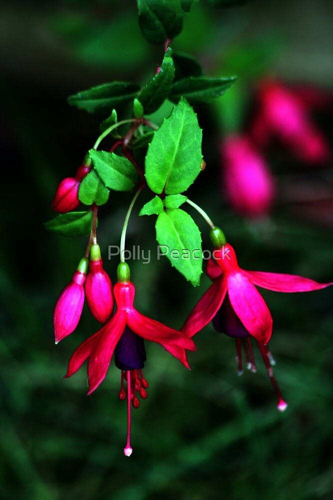 Flowering Fuschia   by Polly Peacock
