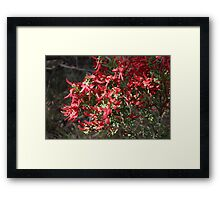 A Bunch of Templetonia Framed Print