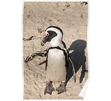 Penguin shadow boxing, South Africa Poster