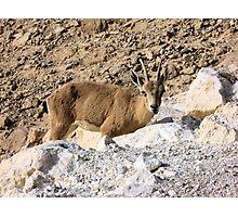 Mountain little goat Photographic Print