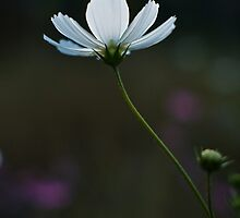 White Cosmos by Martie Venter