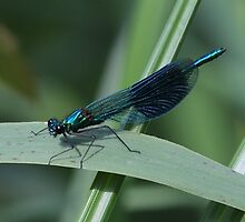 Banded Damsel by Malcolm  Maggs