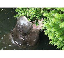 The Happy Hippo Photographic Print