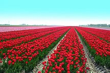 Tulipfield in Red by ienemien