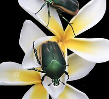 Figeater Beetles Meet For Lunch on the Plumeria! by Heather Friedman