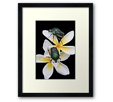 Figeater Beetles Meet For Lunch on the Plumeria! Framed Print