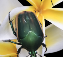 Figeater Beetles Meet For Lunch on the Plumeria! Sticker