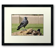 The Jackdaw  Framed Print