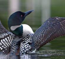 Common loon at 6am Sticker