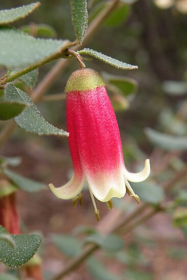 Correa 'Canberra Bells' by Trish Meyer
