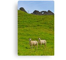 2 welsh Mountain Sheep at Dryslwyn Castle, Wales Canvas Print