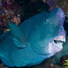 Bumphead Parrotfish, Wakatobi National Park, Indonesia by Erik Schlogl