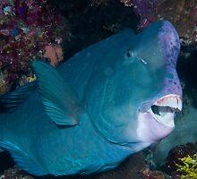 Bumphead Parrotfish, Wakatobi National Park, Indonesia by Erik Schlogl