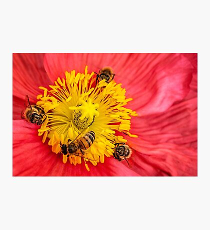 Poppy-go-round for bees! Photographic Print