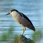 Black-Crowned Night Heron by Gillian Marshall