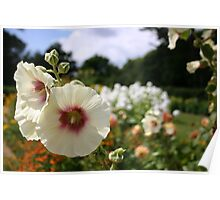 White and red Hollyhock in flower Poster