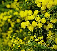 Wattle Fall by Trudi Skinn