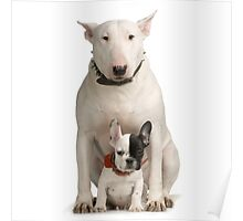 English Bull Terrier & Frenchie Friend Poster