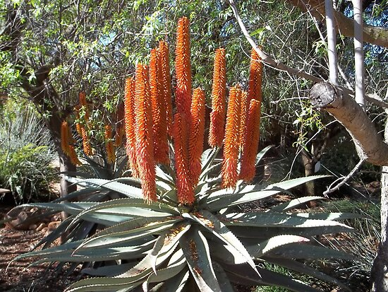 Aloe ferox in full flower by Maree  Clarkson