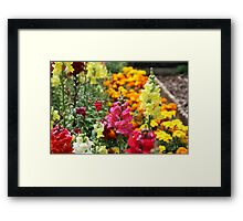 Snapdragons in an English country garden Framed Print