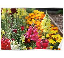 Snapdragons in an English country garden Poster