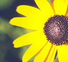 Black Eyed Susan Macro by Elizabeth Thomas