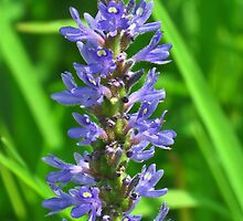 Pickerelweed  by lorilee