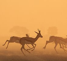 Springbok - African Wildlife Background - Golden Run by LivingWild