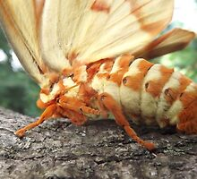 Hickory Horned Devil by Dalton Sayre