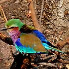 Young Lilac-Breasted Roller (Coracais Caudatus) by Margaret  Hyde