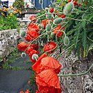 Spring rain on Bergen poppies by Chris Allen