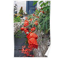 Spring rain on Bergen poppies Poster