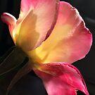 Sunshine Through Rose by Jane Jenkins