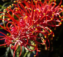Australian flora in bloom by shaynetwright