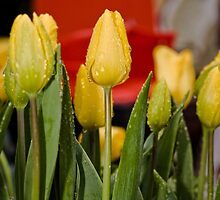 Tulips (9) by Wolf Sverak
